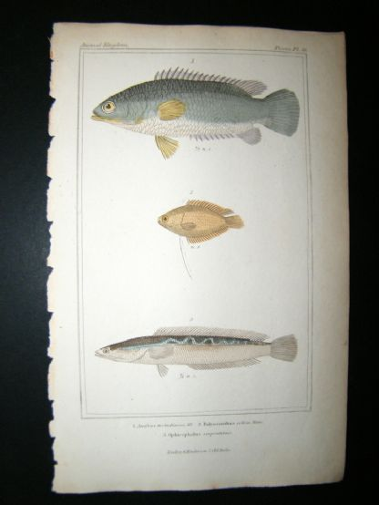 Cuvier C1835 Antique Hand Col Print. Anabas, Ployacanthus, Ophincephalns Fish #46 | Albion Prints